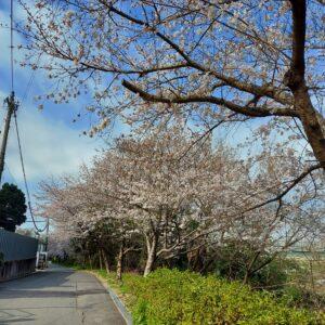 2021桜ソメイヨシノ